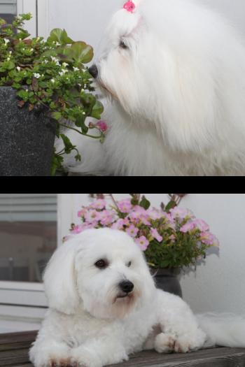 Bomuldshund før og efter klipning