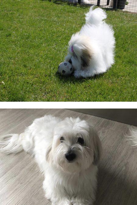 To bomuldshunde, langhåret og korthåret